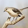 northern mockingbird, amado, arizona