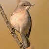 northern mockingbird, agua caliente park, tucson, arizona