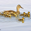 mallard hen & ducklings, gilbert arizona