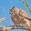 great horned owl, tucson, arizona (c)