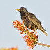 european starling, horse-lovers ranch, phoenix, arizona
