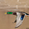 mallard drake in flight, gilbert, arizona