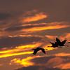 sandhill quartet flies into the setting sun, bosque