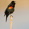 red-winged blackbird on cattail, bosque