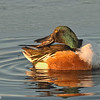 northern shoveler drake, preening at sunrise, bosque