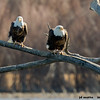 adult pair of bald eagles, bosque