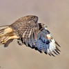 red-tailed hawk in flight, bosque