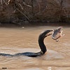 double-crested cormorant with catfish, bosque
