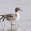 northern pintail drake on ice, getting fancy, bosque