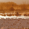 snow geese & sandhill cranes at sunrise, bosque