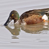 northern shoveler drake, bosque