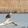 bald eagle on log, bosque
