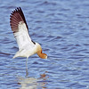 american avocet wingstretch, bosque