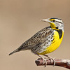 meadowlark on pump handle, bosque