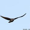 common raven in flight, bosque