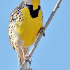 meadowlark, bosque