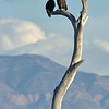 bald eagle pair atop old tree snag, bosque