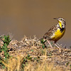 meadowlark hunting food, bosque
