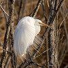 great egret, bosque
