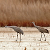 sandhill cranes in pre-launch  position, bosque