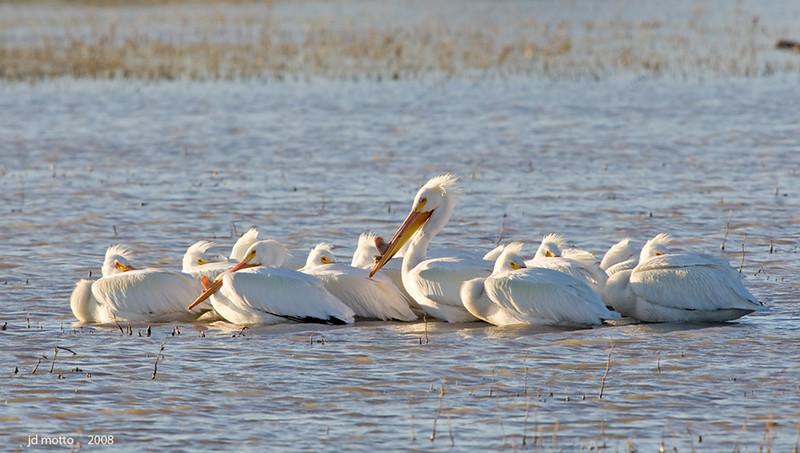 white pelican flock in windy bosque