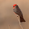 vermillion flycatcher, bosque