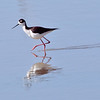 black-necked stilt, bosque