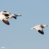 ross's goose trio (smaller, smaller bill) in flight, bosque