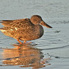 northern shoveler female on ice, early morning, bosque