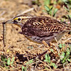 meadowlark with caterpillar, bosque