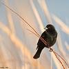 red-winged blackbird, bosque