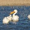 white pelican flock, bosque