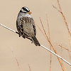 white-crowned sparrow, bosque