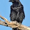 common raven, bosque
