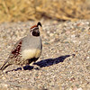 gambel's quail, bosque