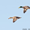 mallard pair in flight, bosque