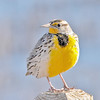 meadowlark on post, bosque