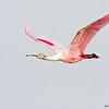 roseate spoonbill in flight, port aransas, texas