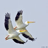 white pelican pair in flight, port aransas, texas