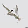 forster's terns in courtship flight, port aransas, texas