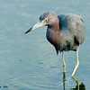little blue heron, south padre, texas