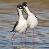 black-necked stilt pair courtship, south padre island, texas