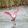 roseate spoonbill wingspread, south padre, texas