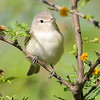 warbling vireo, south padre, texas