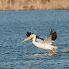 white pelican takeoff, port aransas, texas