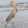 reddish egret, south padre island, texas