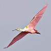 roseate spoonbill, full wingspread glide, port aransas, texas