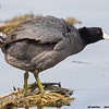 american coot, south padre island, texas