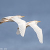 cattle egrets in flight, south padre island, texas