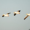 white pelican trio in flight, port aransas, texas